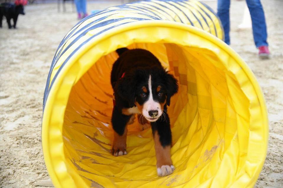 Welpe im Tunnel bei der Hundeschule MATA